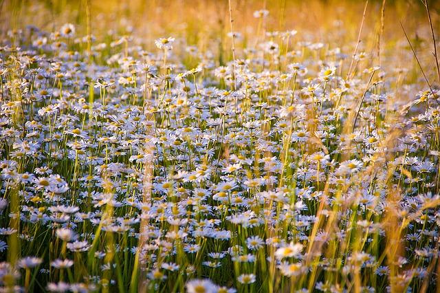 heřmánek květiny.jpg